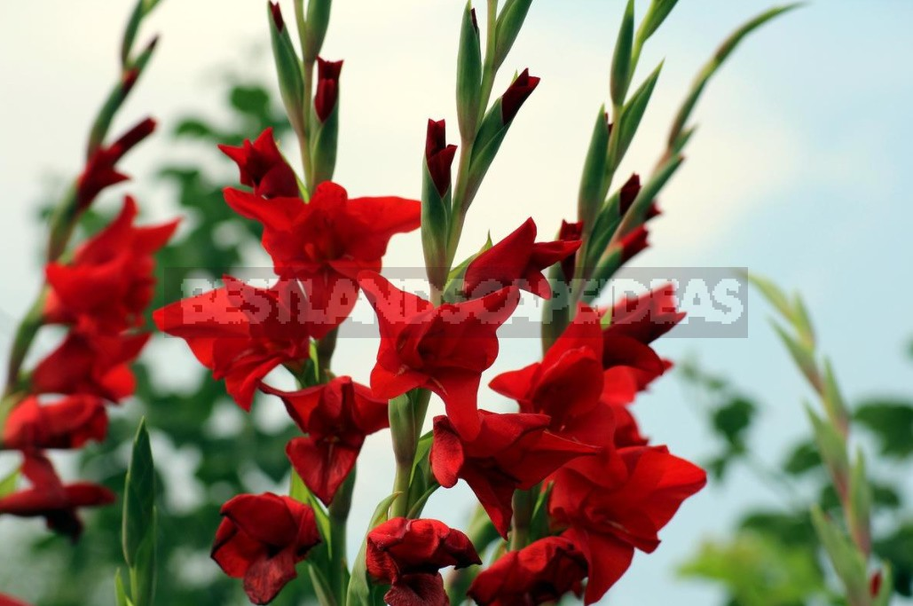 Plant Gladioli!