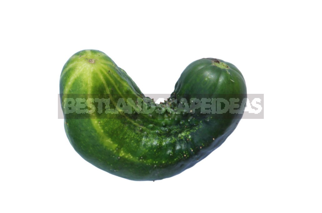 Why Cucumbers Grow Poorly: The Most Common Causes Of Crop Failure (Part 2)