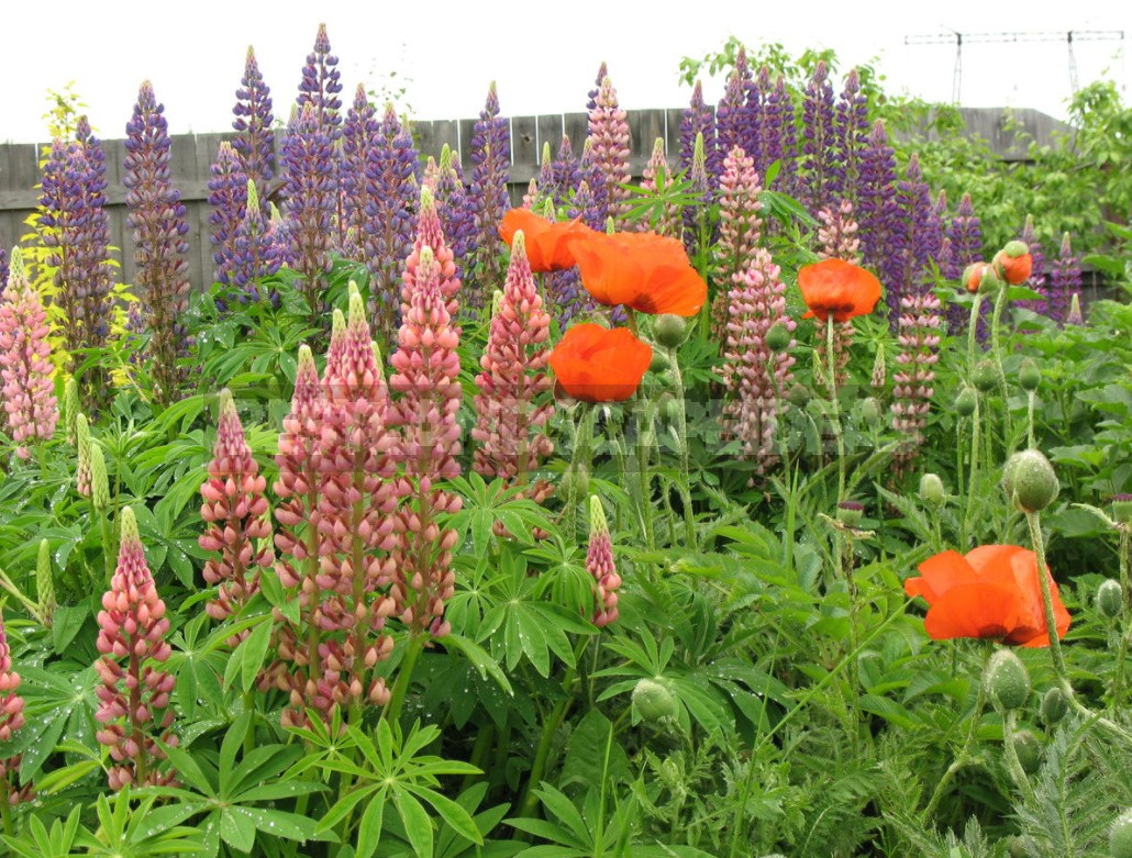 """""""Wolf Pack"""": Types And Varieties Of Lupine (Part 2)"""
