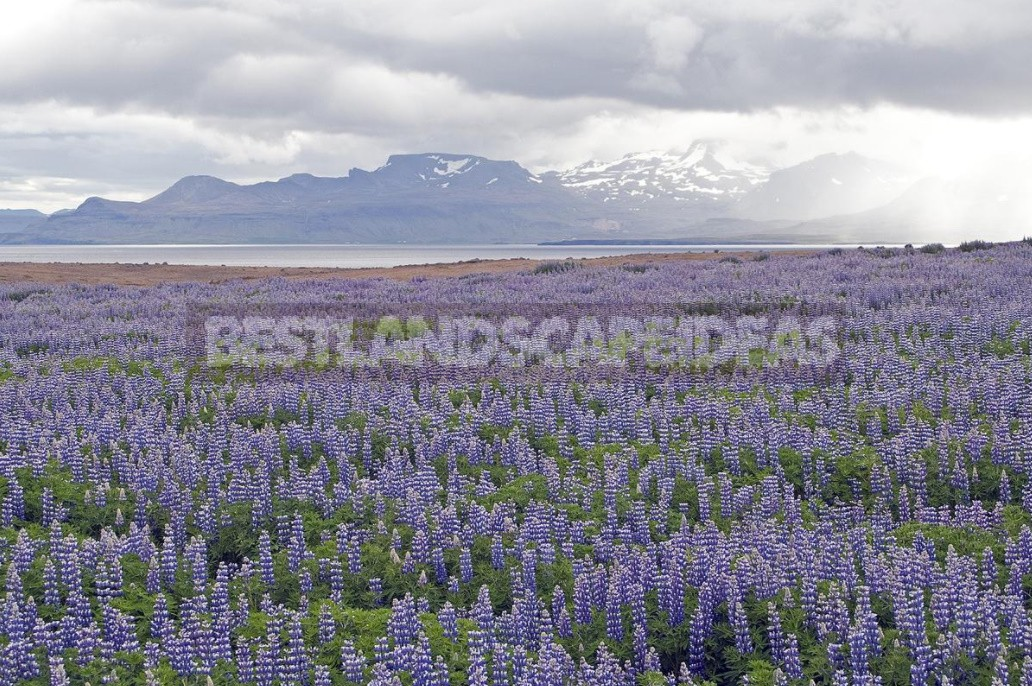 """""""Wolf Pack"""": Types And Varieties Of Lupine (Part 1)"""