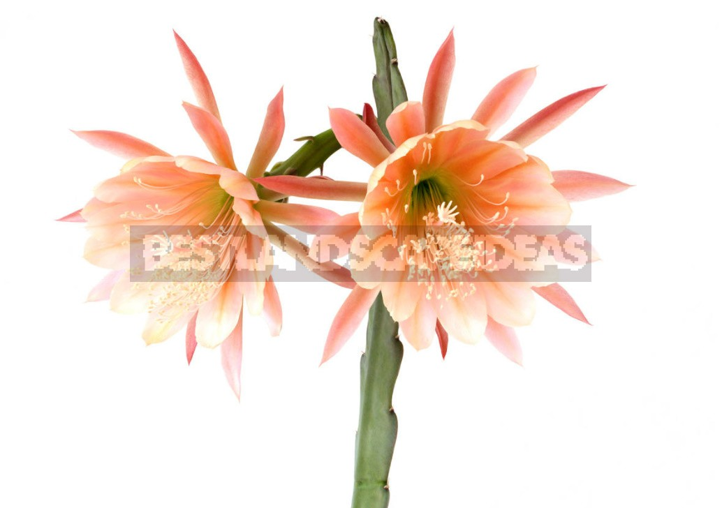 Epiphyllum: What Conditions Does The Leaf-Shaped Cactus Like