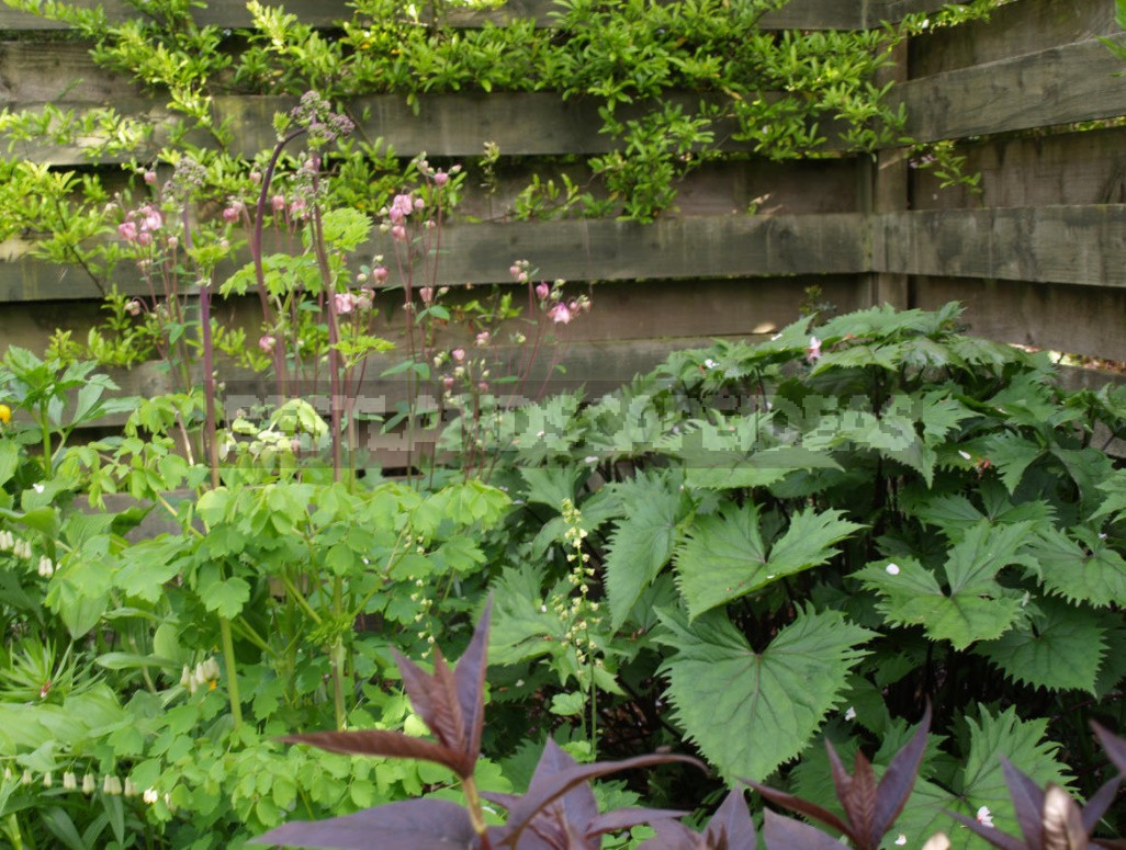 Thalictrum: Species And Varieties, Photos. Accommodation In The Garden (Part 2)