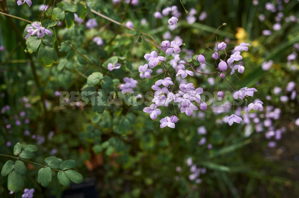 Thalictrum: Species And Varieties, Photos. Accommodation In The Garden (Part 1)