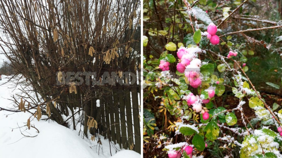 The Charm Of a Snow-Covered Garden: What Pleases Us In Winter