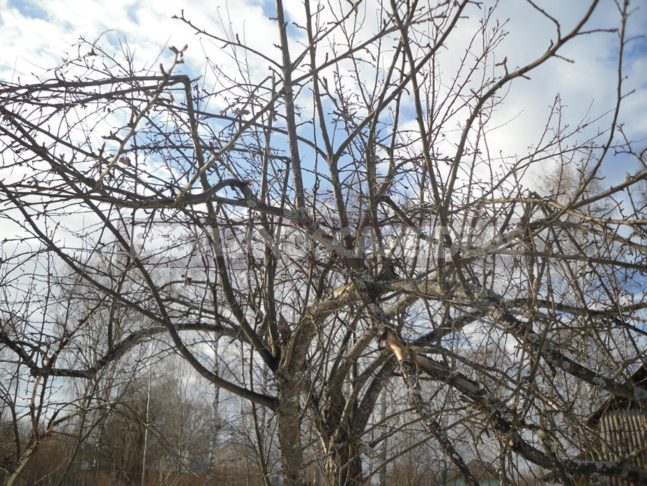How To Rejuvenate An Old Apple Tree (Part 1)