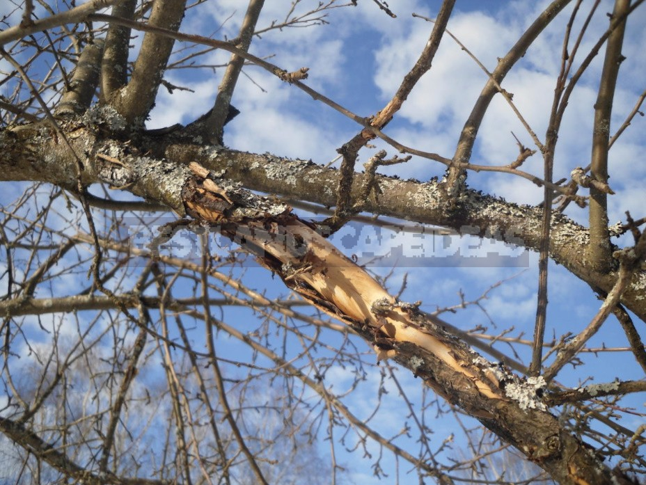 How To Rejuvenate An Old Apple Tree (Part 2)
