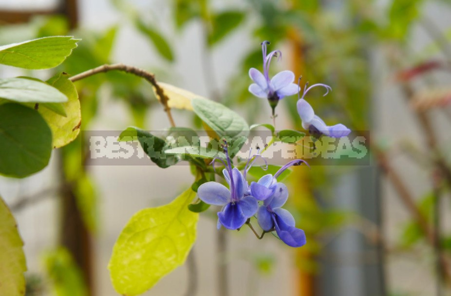 How To Grow Clerodendrum From a Cuttings At Home