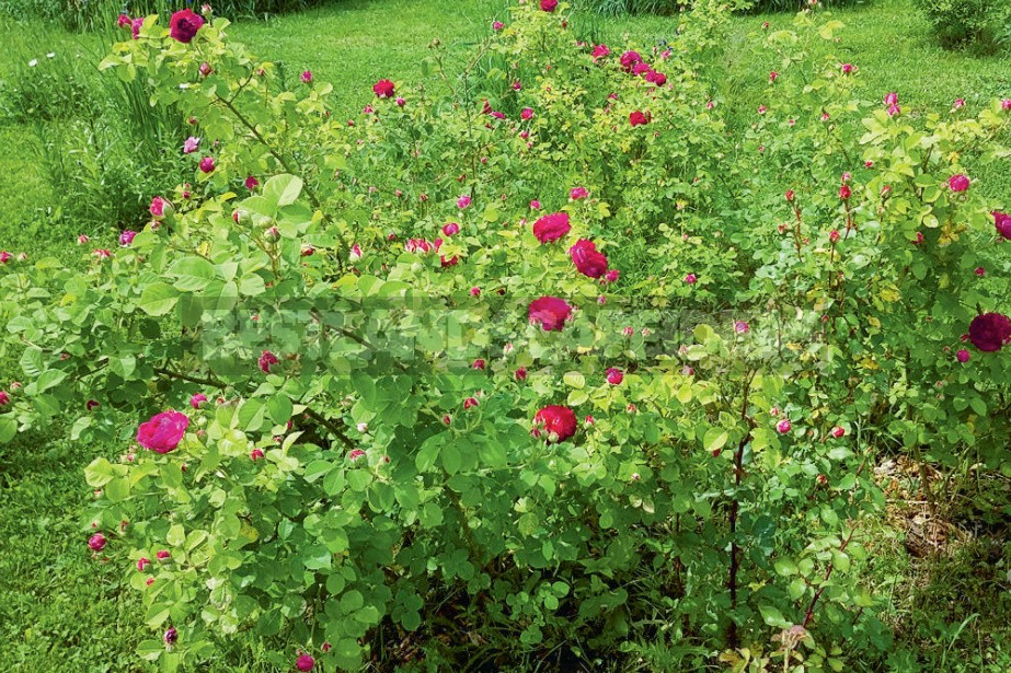 How To Save Rose Seedlings Bought On Sale In Winter