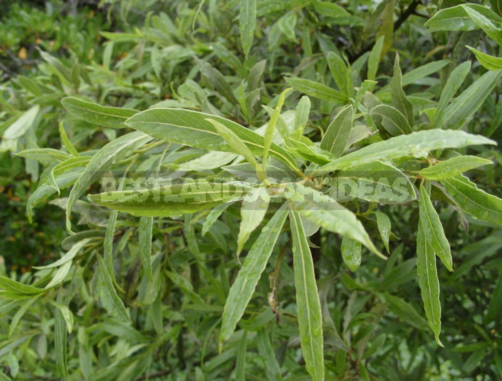 Laurel and its Varieties: Features, Planting, Growing and Care