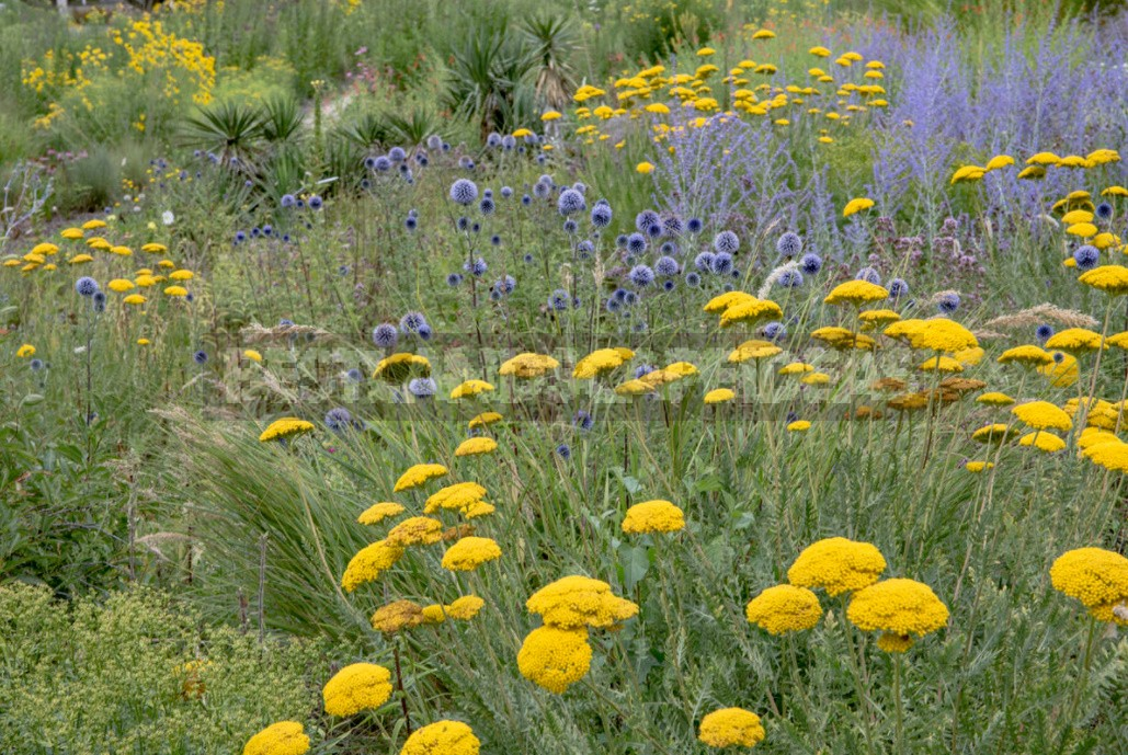 Perennial Helenium: How to Plant and Care for (Part 2)