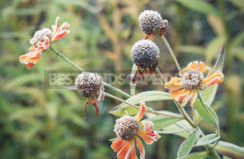 Perennial Helenium: How to Plant and Care for (Part 1)