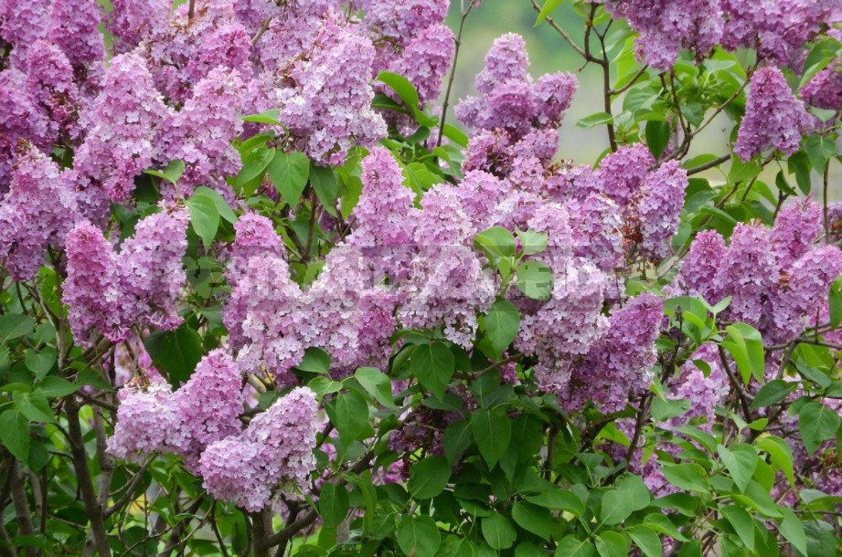 Pruning Ornamental Plants: Rules, Examples, Tools (Part 2)