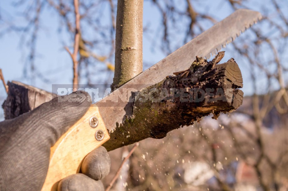 Pruning Ornamental Plants: Rules, Examples, Tools (Part 1)