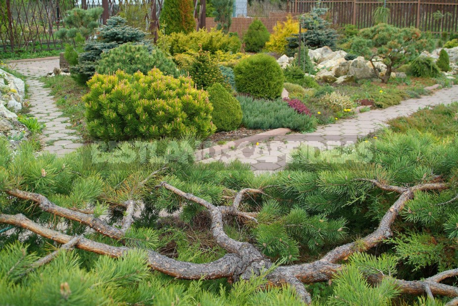 Formation Of Conifers Cut, Pinch Or Leave Alone?