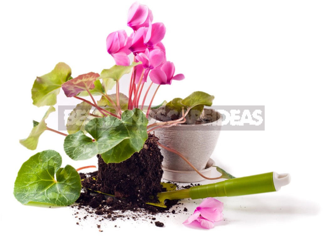 We Grow Cyclamen At Home: How To Care For And When To Transplant