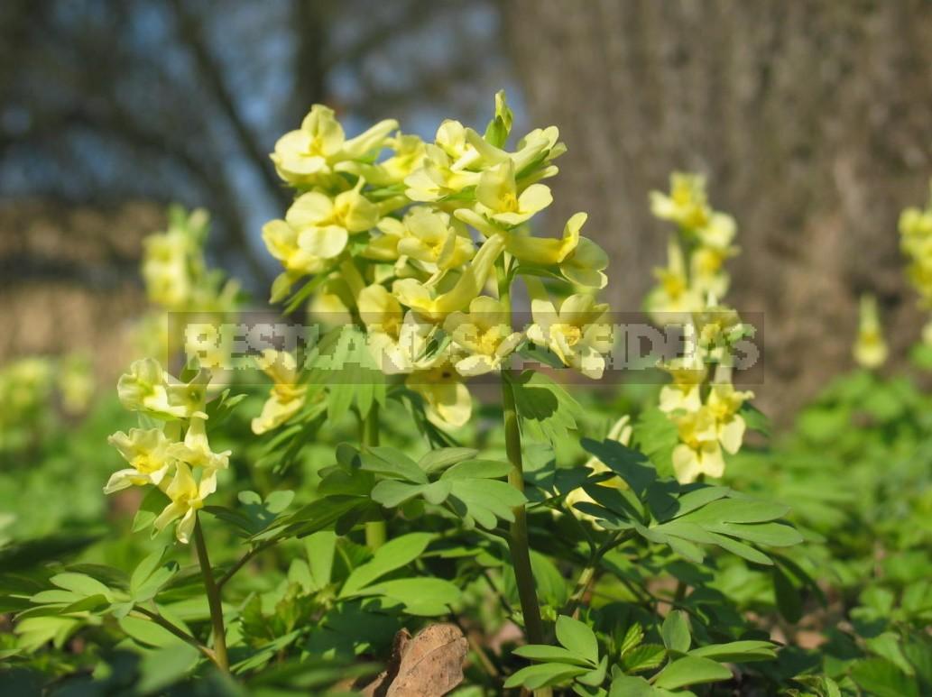 Corydalis - Sleeping Beauties Waking Up In Early Spring