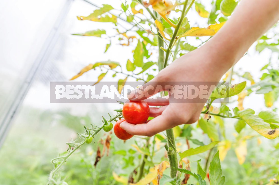 Four Ways To Grow Tomatoes Without Seedlings In The Middle Lane