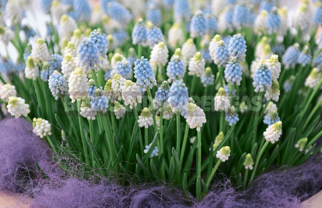 Muscari: Flower Care During The Season, Ideas And Photos Of Compositions