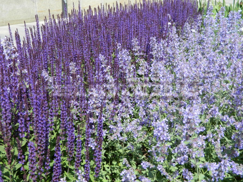 Nepeta: Planting, Care And Successful Combinations