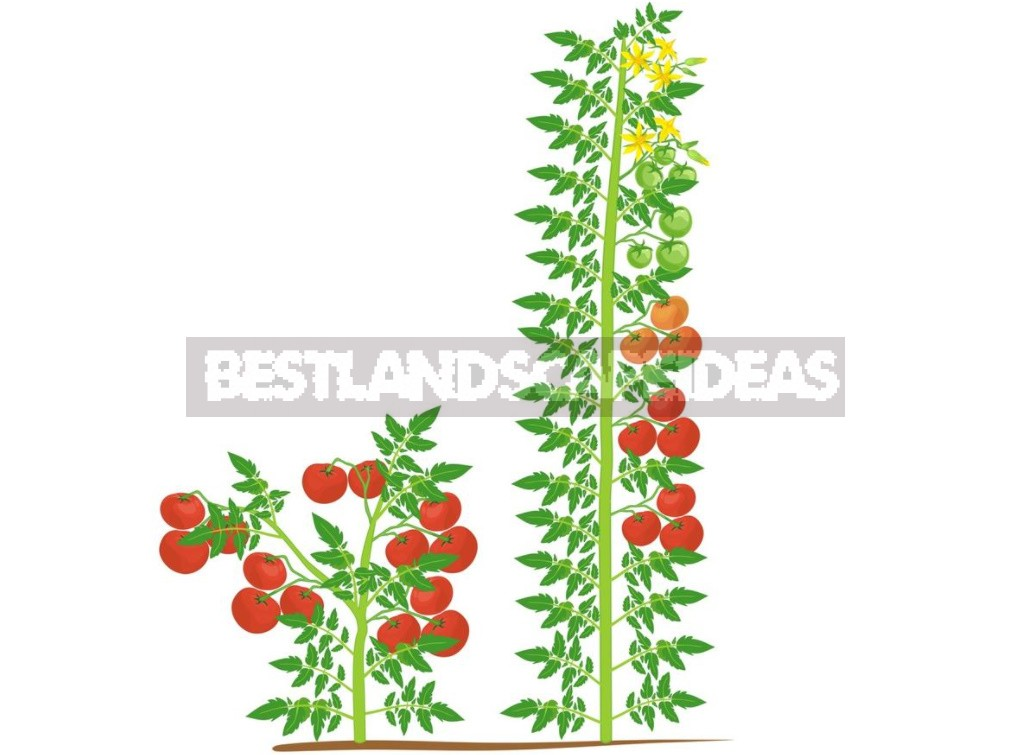 Six Gross Mistakes When Growing Tomatoes. How Ro Fix Everything (Part 1)